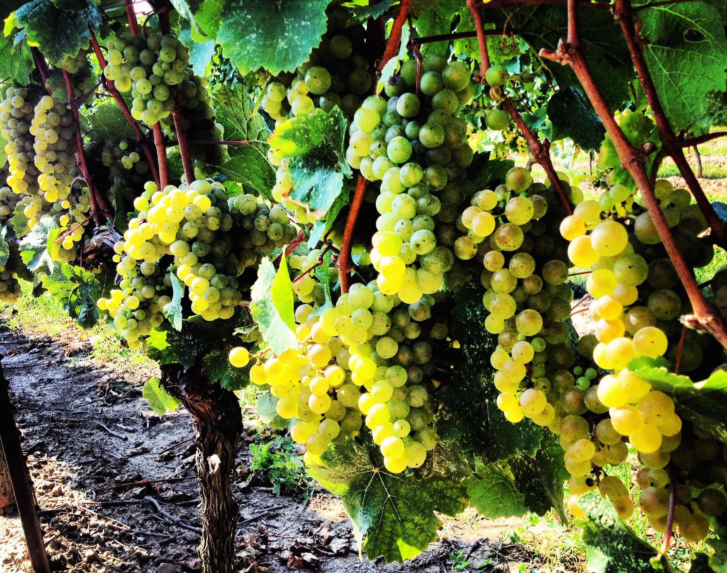 Your Guide to Enjoying Napa & Sonoma's Best Vineyards